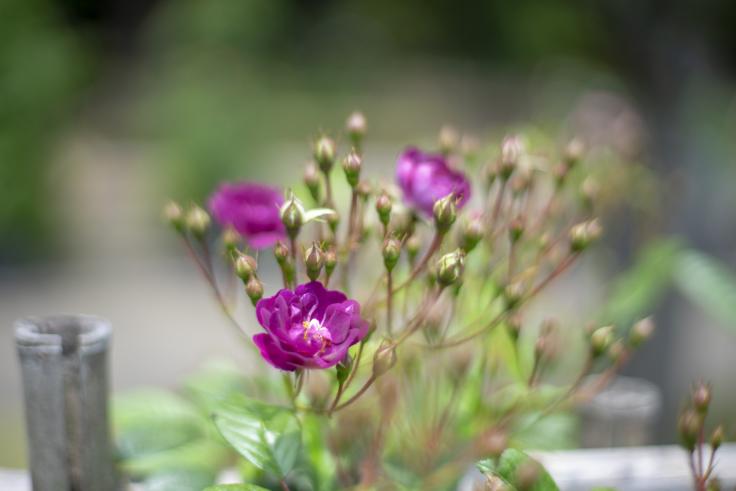 番の州公園のバラ5