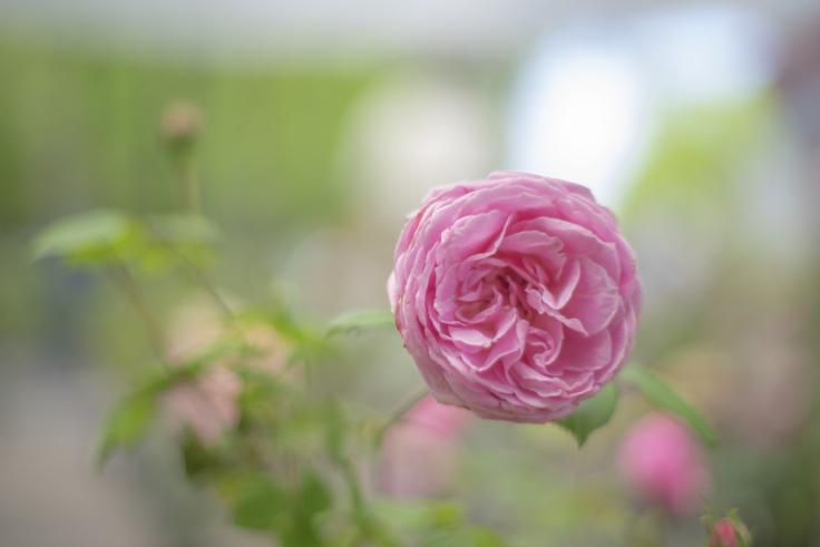 番の州公園のバラ6