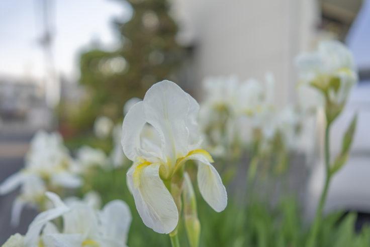 アパートに咲くジャーマンアイリス