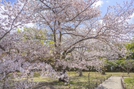 栗林公園の桜標本木