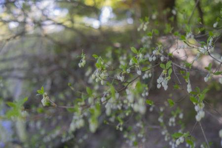 栗林公園のドウダンツツジ