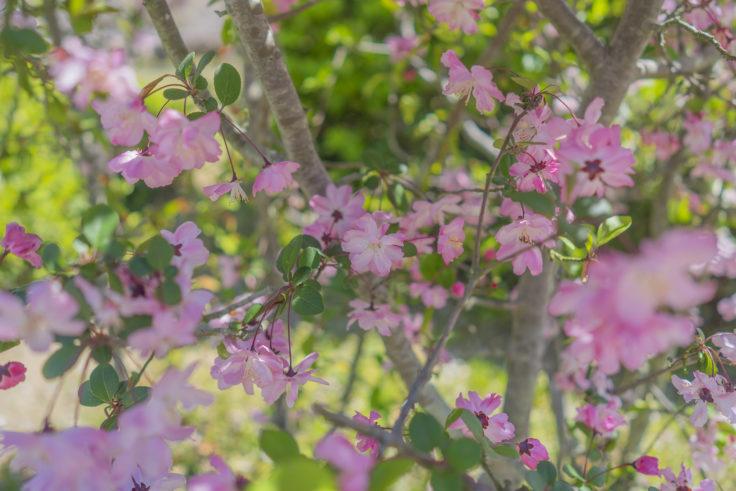 栗林公園のハナカイドウ満開2