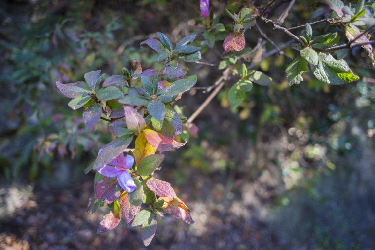 冬に咲いたツツジ