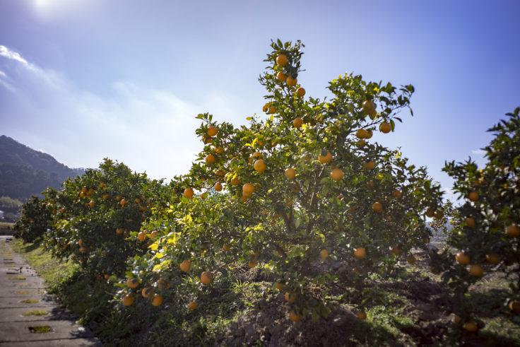 弁天山のミカンの木