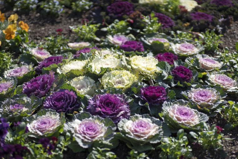 葉ボタン花壇