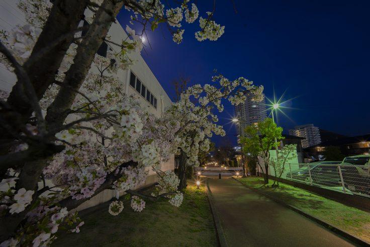 宇多津町の夜桜