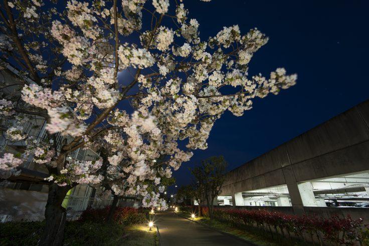 宇多津町の夜桜2