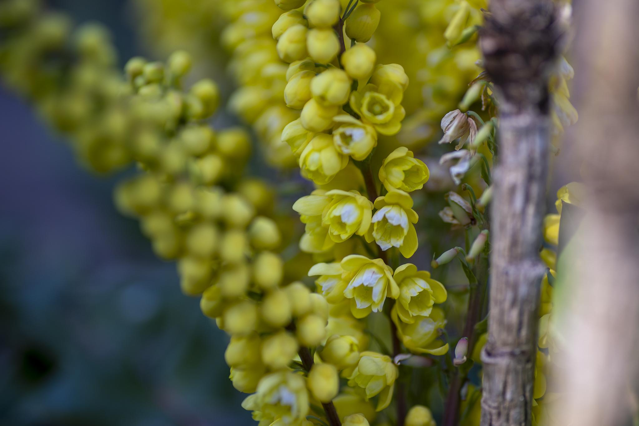 ヒイラギナンテンの花言葉と誕生花