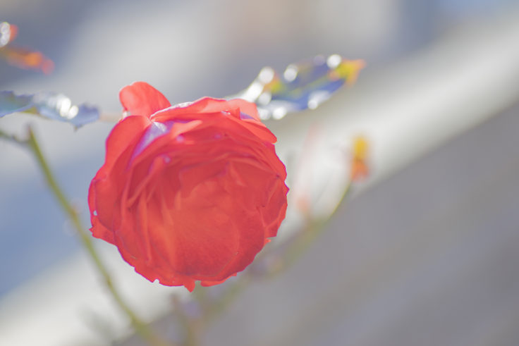 とくしま植物園のバラ