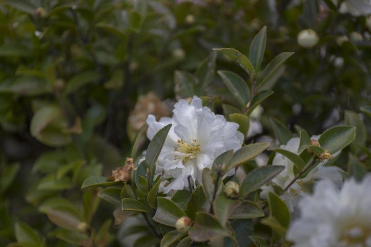 玉藻公園の白い山茶花