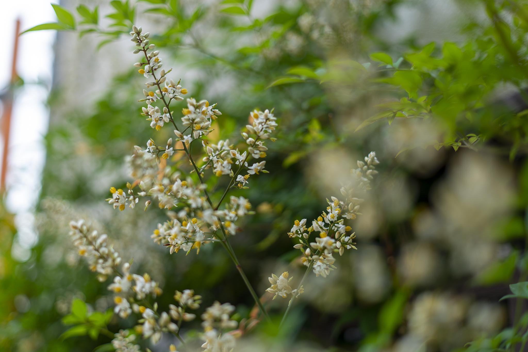 ナンテンの花言葉と誕生花
