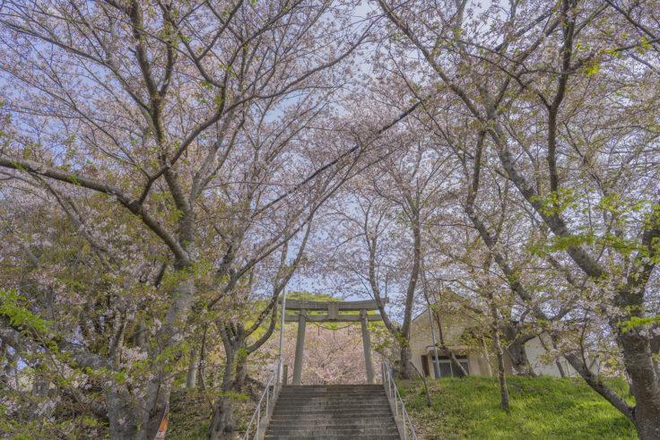 白山神社の鳥居と桜2