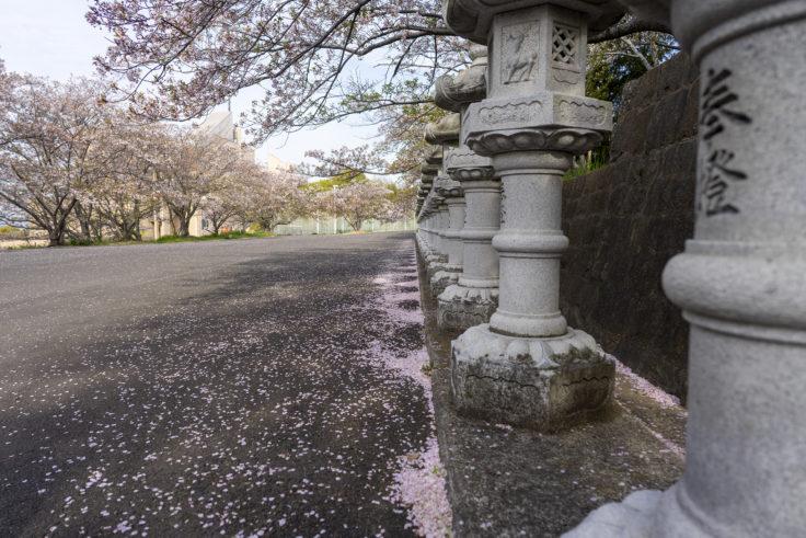 白山神社の桜2