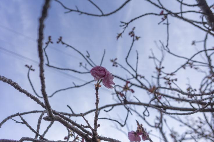 白山神社の八重桜