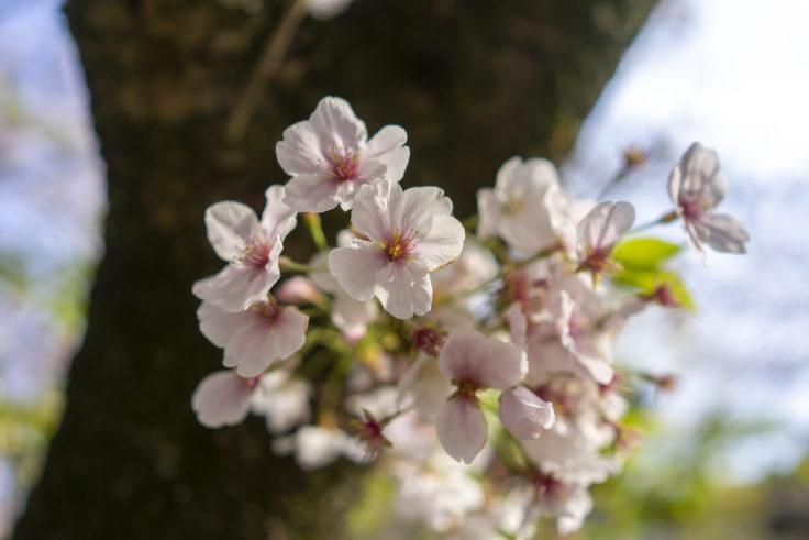 白山神社の桜アップ