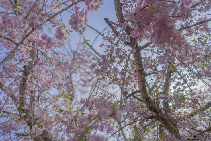 亀鶴公園の枝垂桜2