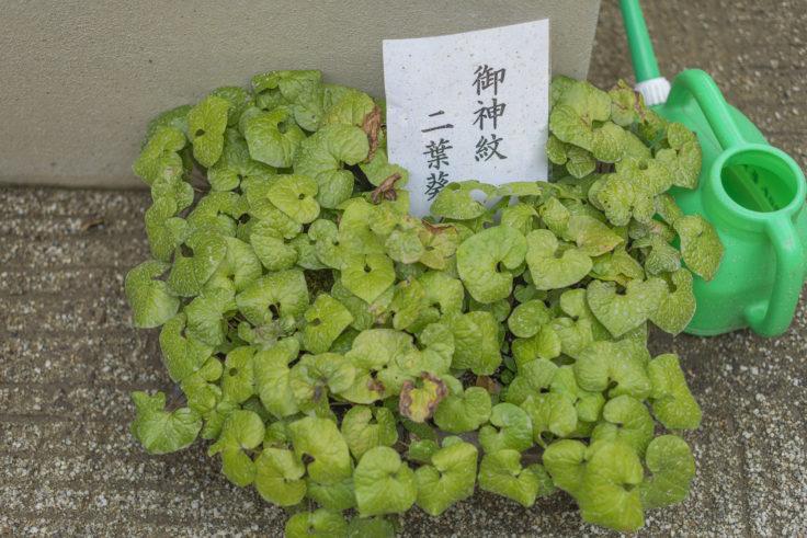 上賀茂神社の葵