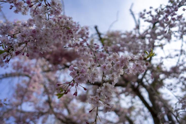 亀鶴公園の枝垂桜3