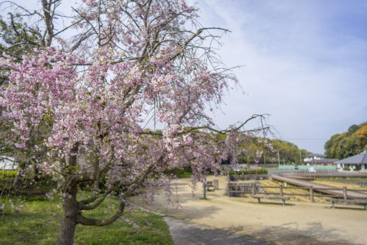 亀鶴公園の枝垂桜
