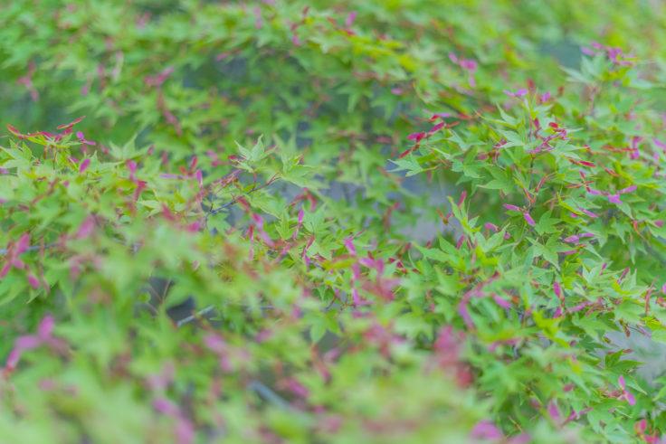 楓のプロペラ