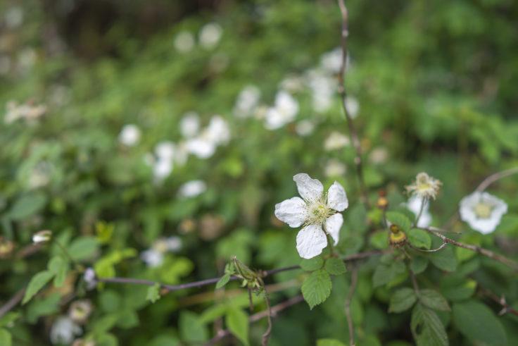亀鶴公園のクサイチゴの花