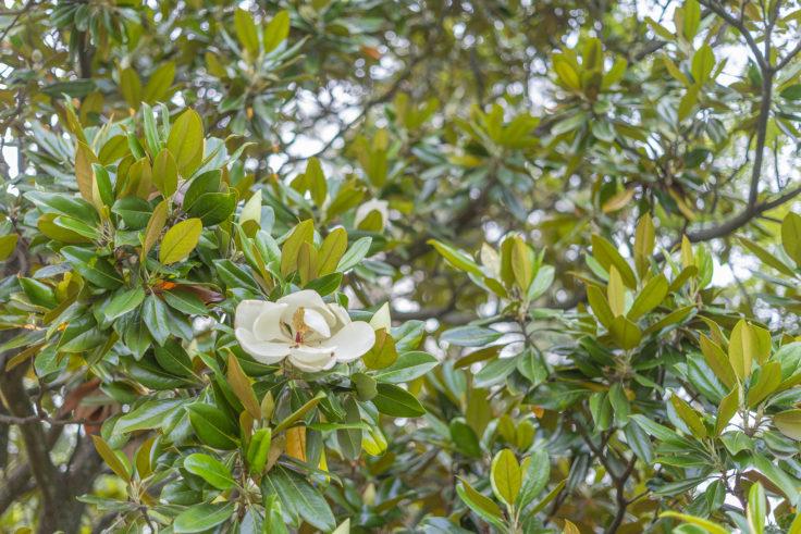 京都御苑のタイサンボクの花3