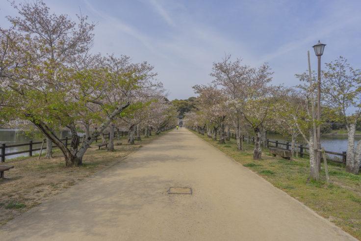 亀鶴公園の散った桜並木