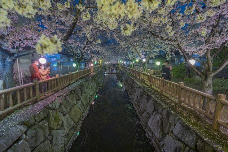 鹿の井出水夜桜全景