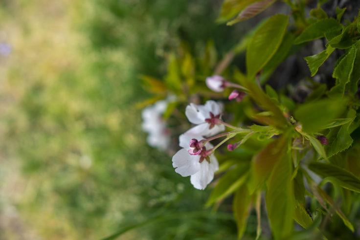 亀鶴公園の地面すれすれに咲く桜