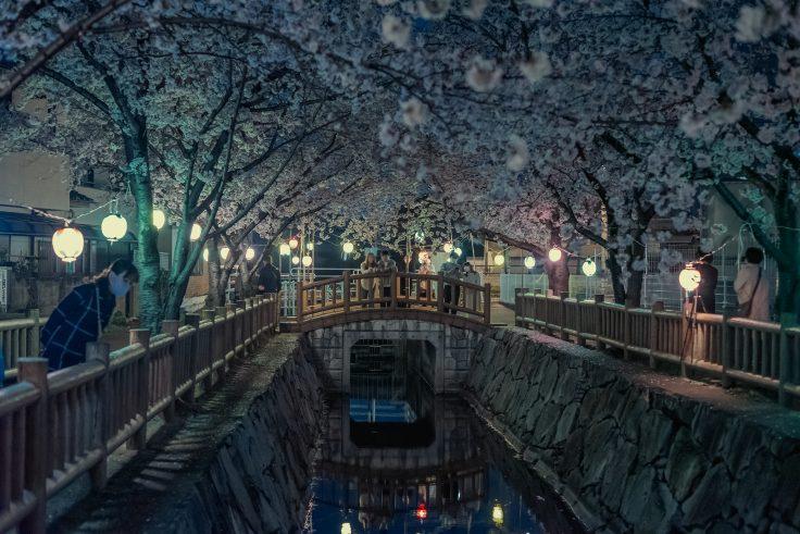 鹿の井出水の夜桜カップル