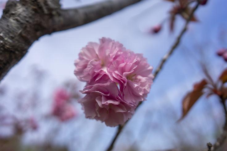 長尾総合公園の八重桜