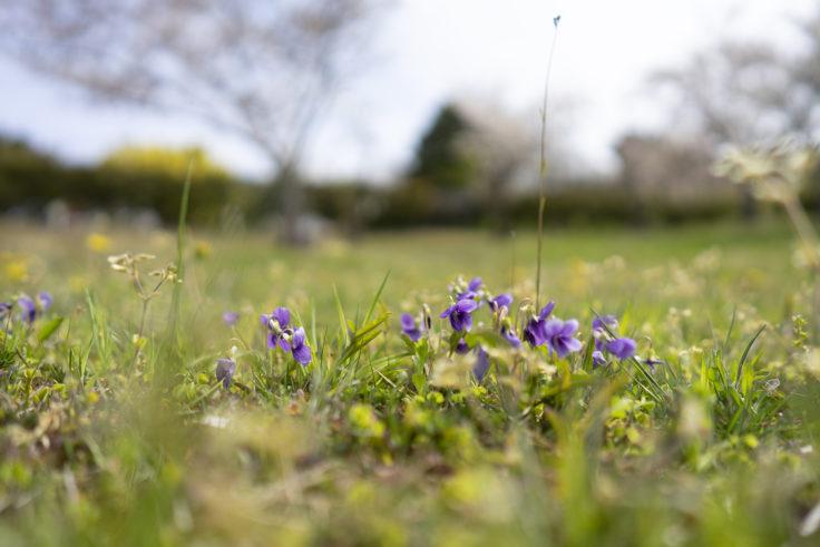 砦の丘に咲くスミレ
