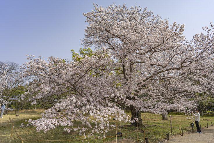 栗林公園の桜前線標準木2