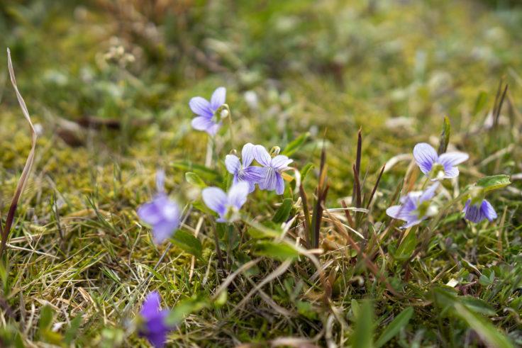 砦の丘に咲くスミレ2