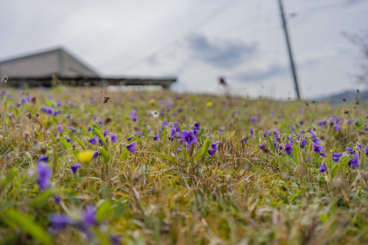 砦の丘に咲くスミレ3