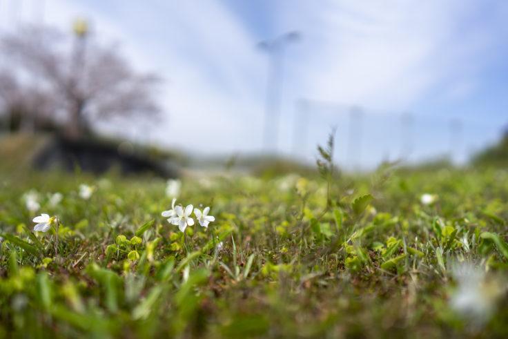 砦の丘に咲くスミレ4