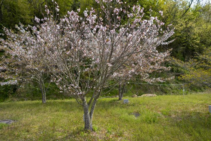 ツインパルながおの御殿場桜