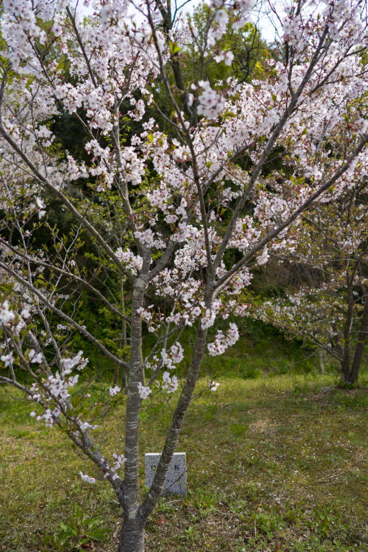 ツインパルながおの玖島桜