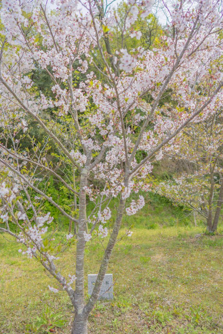 玖島桜(くしまざくら)