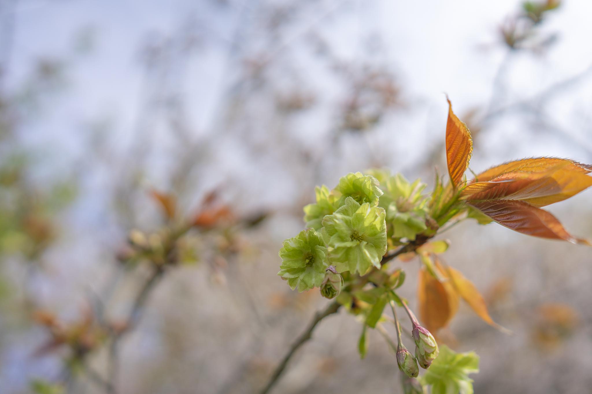「ツインパルながお」でひっそりとお花見していたら緑色の桜「御衣黄」発見!