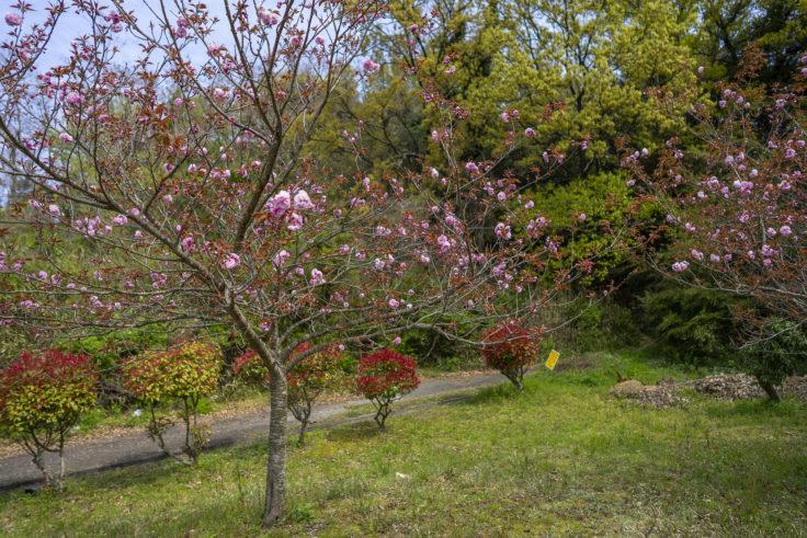 ツインパルながおの八重桜関山