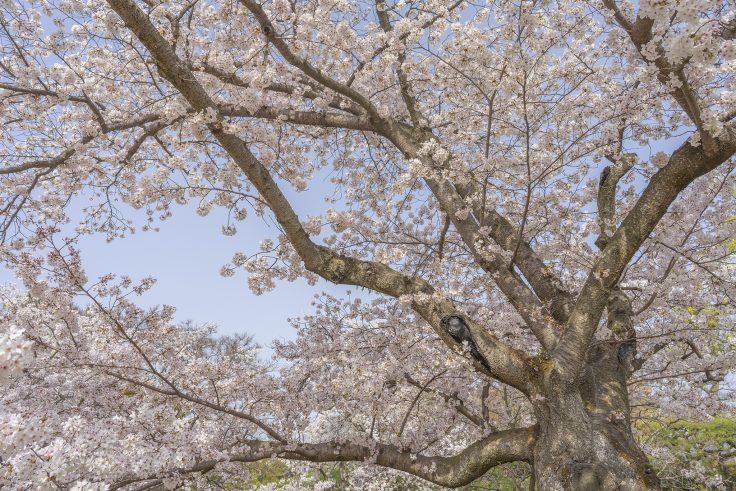 栗林公園の桜前線標本木2