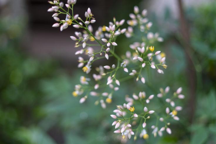 高山寺のナンテンの花