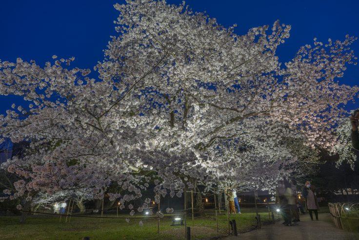 栗林公園の春のライトアップ桜前線標準木
