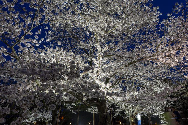 栗林公園の春のライトアップ桜前線標準木2