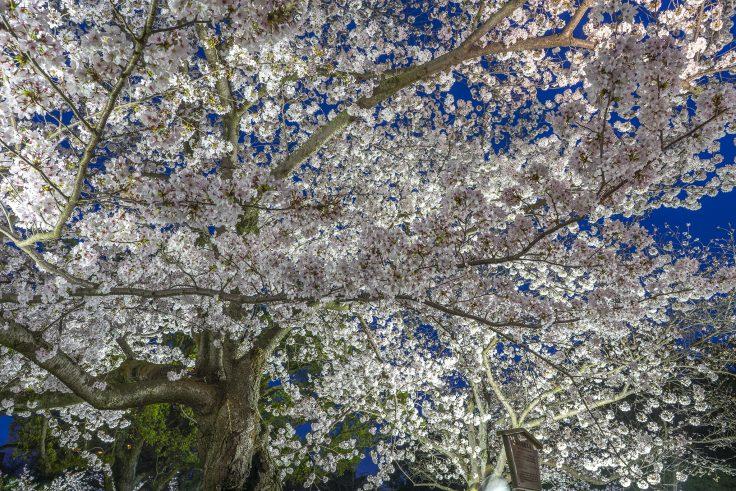 栗林公園の春のライトアップ桜前線標準木3