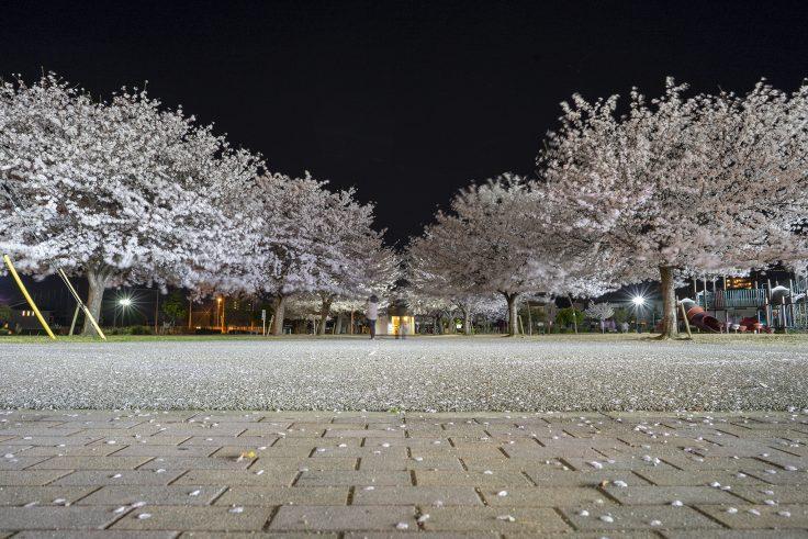 来た中央公園の夜桜