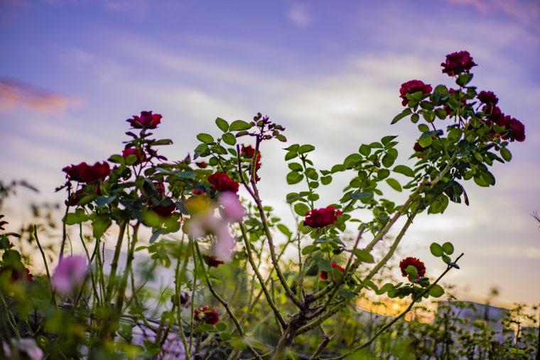 夕焼け背景のバラ