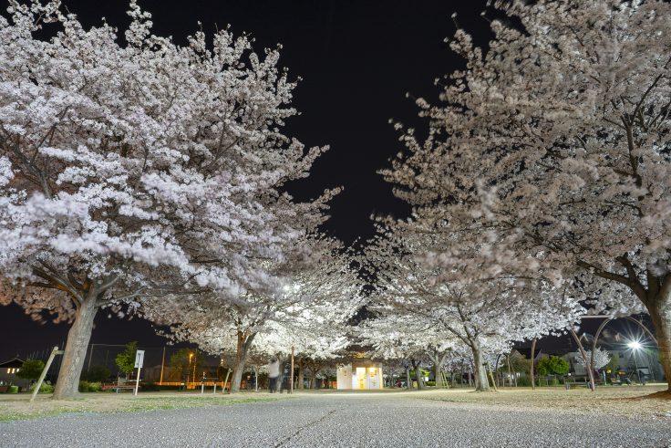 来た中央公園の夜桜2