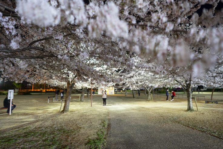 来た中央公園の夜桜4